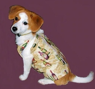 Side view - A white with red Pomeagle dog is wearing a shirt that has wine bottles printed on it sitting in a composited purple background. Its head is slightly tilted to the left.