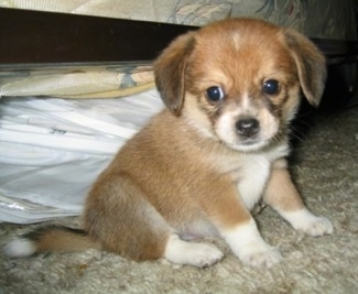 beagle pomeranian pomeagle dog breed information and pictures 2256