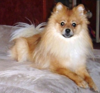 Front view - A brown with white Pomeranian is laying on a bed and it is looking forward.