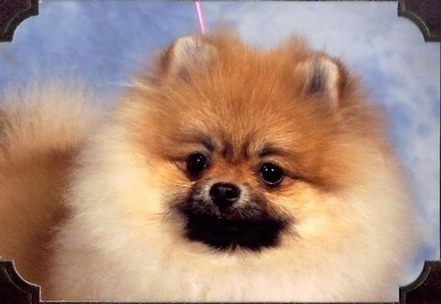 Close up - A tan Pomeranian is standing in front of a sky backdrop and it is looking forward. There is a photo frame overlayed around the image. It has fuzzy fluffy fur and small ears.