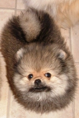 Top down view of a fuzzy black with tan and white Pomeranian that is sitting on a tiled floor.