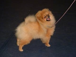 The right side of a fuzzy tan Pomeranian is looking up and to the right. Its mouth is open and its tongue is out. It is standing on a blue surface.
