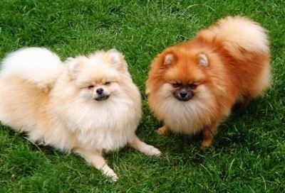 Two fluffy dogs - A red Pomeranian and a tan Pomeranian are sitting and laying on grass and they are looking up.