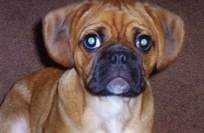 Close up - A drop eared, wrinkly headed, red with white and black Puglier puppy is sitting on a brown carpet looking forward.