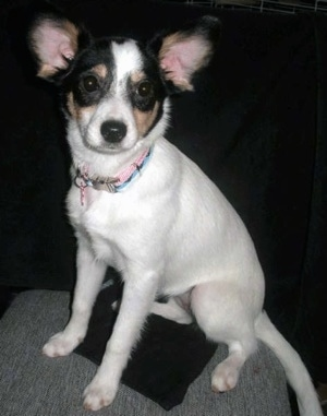 Rat Terrier / Papillon Hybrid - Rat-A-Pap