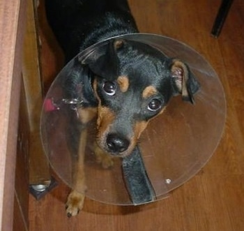 Dabey the Rat Pinscher wearing a pet cone on a hardwood floor