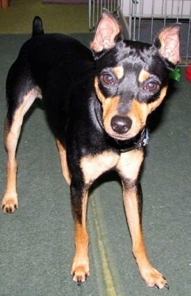 Rocky the black and tan Rat Pinscher standing on a pair of rugs in front of a cage