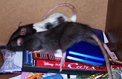 Two Rats are standing on a dvd copy of Disneys Cars and also a Nintendo DS.