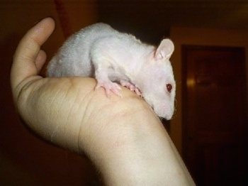 A peach-fuzz hairless rat is climbing down a persons arm looking down.