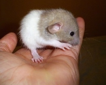 A tan and white Dumbo rat is laying in a persons hand inspecting the person's pinky.