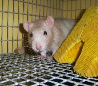 A tan with white dumbo rat is standing behind a yellow wood block in a cage looking forward.