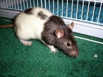 A black and white hooded Rat is standing on a green carpet looking to the right. There is a cage behind it.