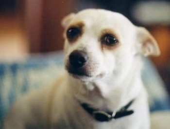 Close up head and upper body shot - A white with tan Ratshi Terrier is looking to the left and its ears are pinned back.