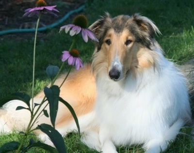 Angel the drop eared rough Collie is laying outside behind three large purple flowers
