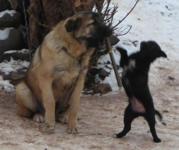 A large breed tan with black Sarplaninac dog is sitting on dirty snow with a stick in its mouth and in front of it is a small black dog standing on its hind legs and batting at the stick.