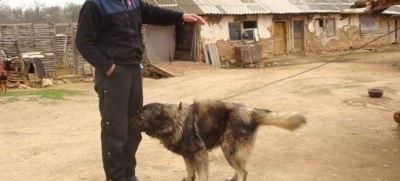 A black with tan Sarplaninac dog is sniffing the person standing in front of it. The person has one hand in its pocket and the other hand in the air. There is an old building in the distance.