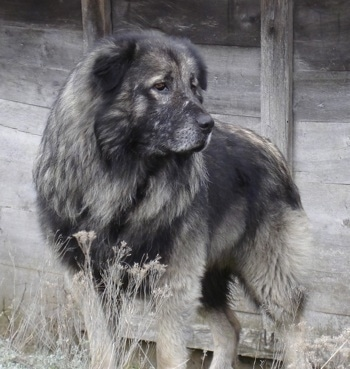 Front side view - A huge, thick coated black and grey Sarplaninac dog is standing in grass and behind it is a wooden structure. It is looking to the right. The dog looks like a bear.