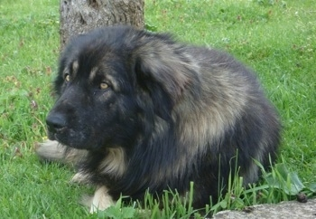A large black with tan Sarplaninac is laying in grass and behind it is a slim tree. The dog has golden colored eyes.
