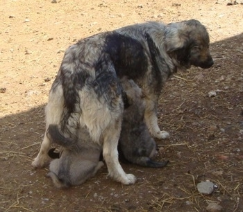 The back right side of a Sarplaninac dog that is standing in dirt and is feeding a litter of puppies.