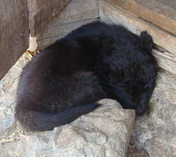 A small black Sarplaninac puppy is sleeping on a rock in front of a doorway.