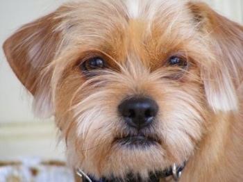 Schweenie Dog Breed Information And Pictures