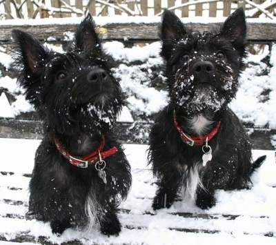 Two black with white Scoland Terriers are sitting on a snowy bench outside. The dogs have snow on their faces. The dogs are wearing red collars.