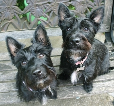 Top down view of two black with white Scoland Terriers that are sitting on a hardwood bench that has a medal flowered back. The dogs are looking up. The dogs have perk ears, their coat is shiny and they have medium length hair with beards under their chins.