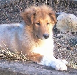 Front side view - A brown with white Scotch Collie puppy is laying across a wooden log, it is looking down and it is looking to the right. It has fuzzy hair on its head.