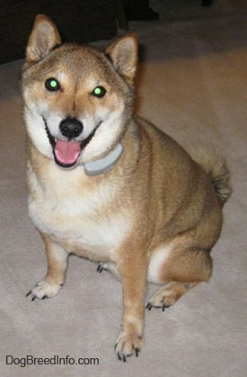 Close up - A tan with white Shiba Inu is sitting on a carpet, it is looking up, its head is slightly tilted to the right, its mouth is open and it looks like it is smiling. It has glowing green eyes and small perk ears. It is wearing an electric fence collar.