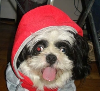 Close up - A black and white Shih-Tzu is laying on a hardwood floor and it is wearing a hoodie. Its mouth is open and its tongue is sticking out in a goofy way.