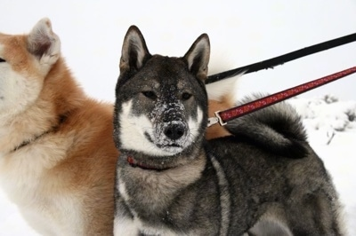 Close up front side view - Two dogs on leashes in snow - A black with grey and white Shikoku is standing in snow, it is looking forward and it has snow on its muzzle. There is a tan with white dog behind it.