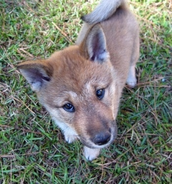 Close up - A top down view of a tan with black and white Shikoku-Ken puppy that is standing in grass, it is looking up and its head is tilted to the left. It has small perk ears and its tail is curled up over its back.