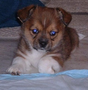 Brewster, the Shih-Tzu /Cardigan Corgi hybrid as a puppy