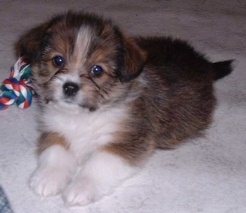 Leilani, the Shih-Tzu /Cardigan Corgi hybrid as a puppy