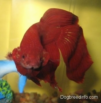 Close Up - A red Siamese fighting fish is swimming next to a blue toy
