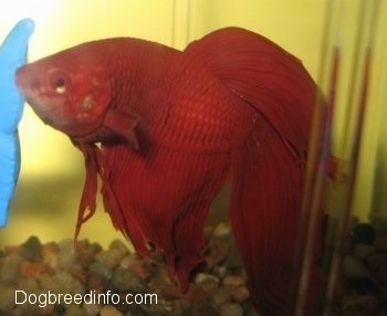 Close Up - A red Siamese Fighting Fish is swimming over top of different brown shaded rocks