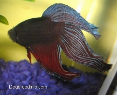 Close Up - The Side of a purple with blue and red Siamese Fighting Fish