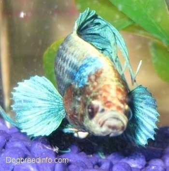 Close Up - A light teal-blue with red and white Siamese Fighting Fish is wading over a bunch of blue rocks