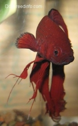 Close Up - A red Siamese Fighting Fish is swimming around