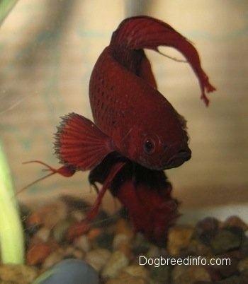 Close Up - A red Siamese Fighting Fish is swimming next to an underwater plant
