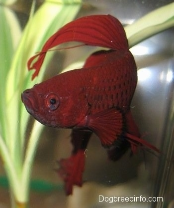 Close Up - A red Siamese Fighting Fish wading in water. There is an underwater plant behind it