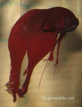 Close Up - A red Siamese Fighting Fish looking like it is hanging in the water.