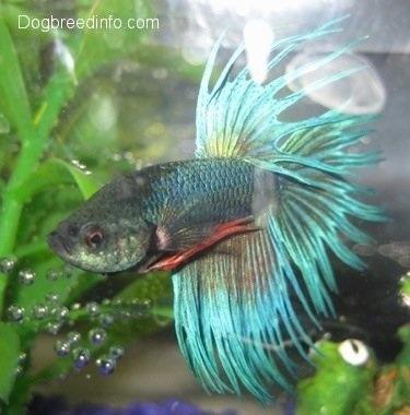 Rare betta fish for Rare betta fish
