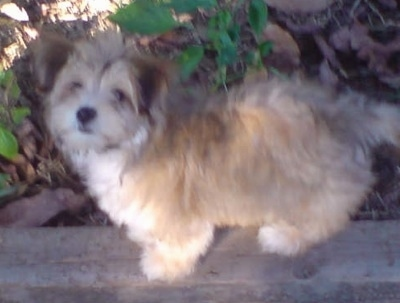 The left side of a tan with white Silky-Lhasa puppy standing across a small concrete wall looking up with green plants and brown brush behind it.