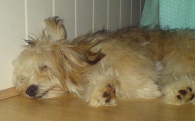 Side view - A longhaired, tan with white Silky-Lhasa dog is sleeping on its right side on a hardwood floor with its head against a white wall.