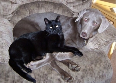 A silver Labrador Retriever is laying in an brown arm chair and a black cat is laying on top of the dog.