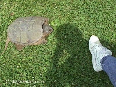 A large snapping turtle is standing in grass in front of a man's foot. The two foot turle is twice the size of the shoe that is about 12 inches long.