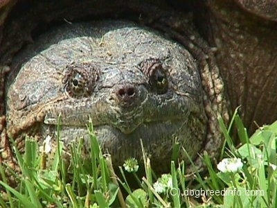 Close up front view - The face of a snapping turtle that is laying in grass.