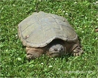 Front view - A large 2 foot snapping turtle that is laying in grass. Its head is descending into its shell.