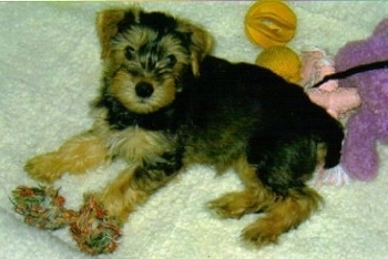 The right side of a small black and tan Snorkie puppy is laying across a carpeted surface, it is looking up and there are plush dolls behind it.
